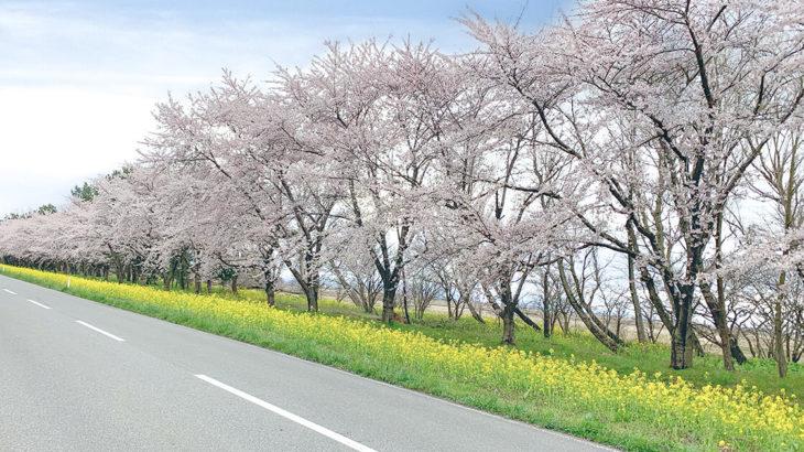 菜の花ロードで満開の菜の花と桜を見てきました!in大潟村
