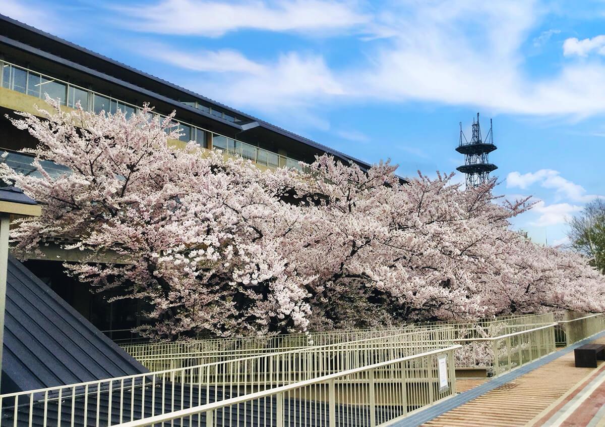能代市役所さくら庭の桜2