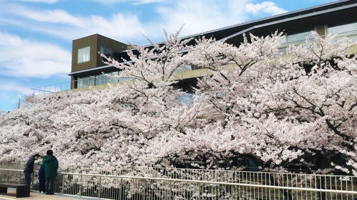 【能代市桜開花情報】さくら庭・能代公園などが満開!
