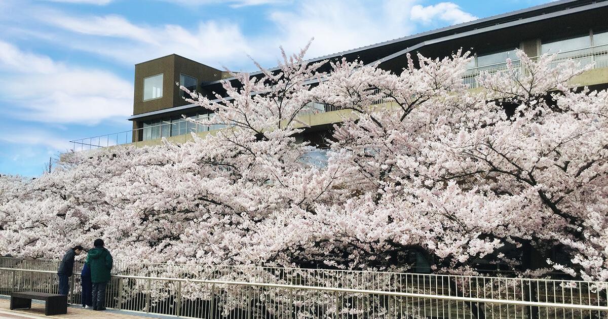 能代市役所さくら庭の桜1
