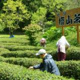 【北限の茶】檜山茶の剪定が始まったみたい!