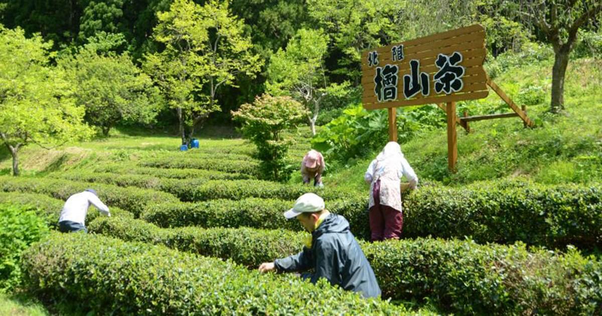 檜山茶剪定シーン