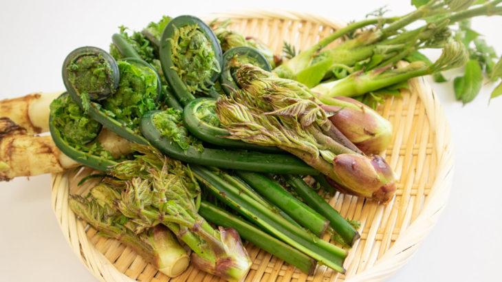 能代山本地域は山菜収穫シーズン真っ只中!