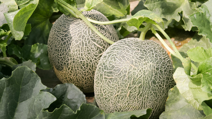 【三種町】八竜地域でメロンの収穫が行われているみたい!