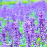 【八峰町峰浜沼田】ポンポコ山公園のラベンダーの摘み取り体験が開催されてるみたい!