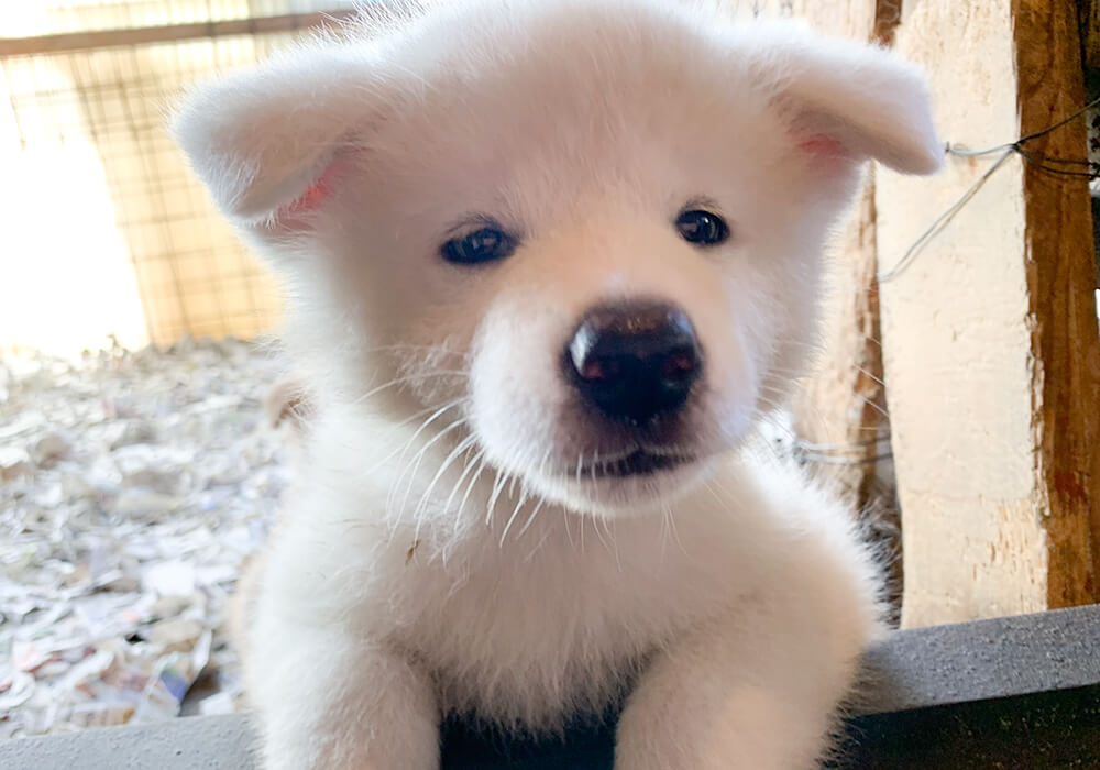 秋田犬の子犬1