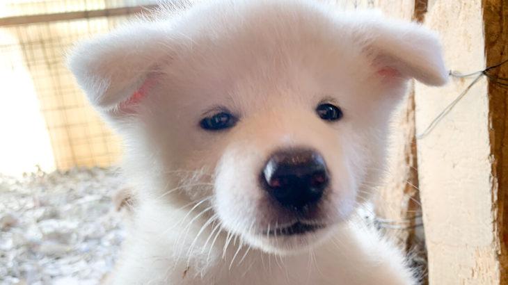 【能代市河戸川】ふわっふわの秋田犬に癒されまくる!能代幸寿荘さんへ行ってきました!