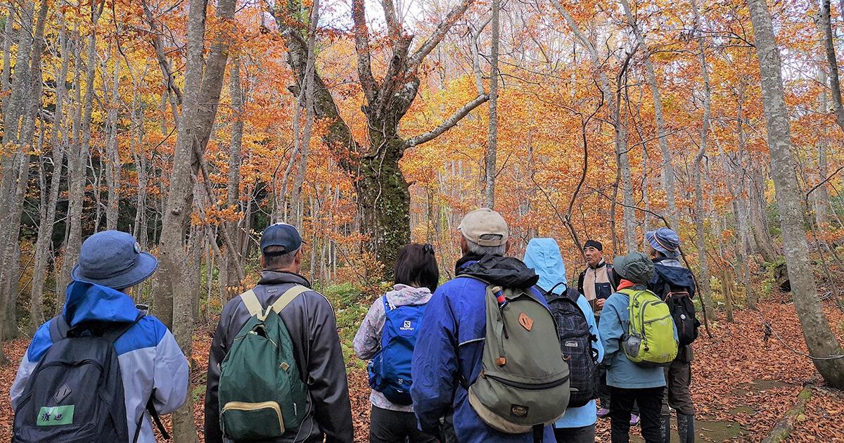 白神山地をレジェンドガイドと紅葉の森を歩くツアーがあるみたい!
