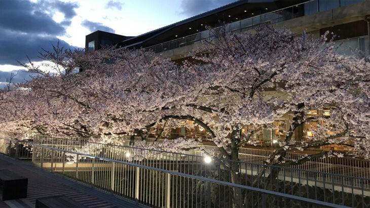【4月9日〜】能代市役所さくら庭の夜桜がライトアップさせるみたい!