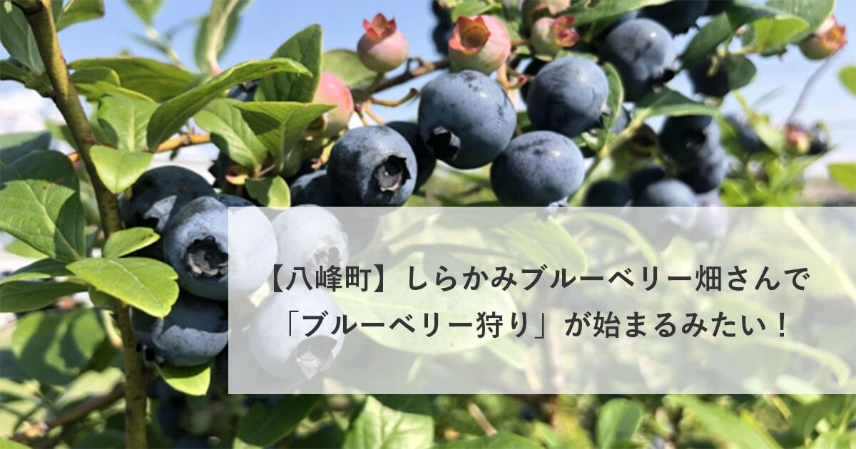 【八峰町峰浜沼田】しらかみブルーベリー畑さんでブルーベリー狩りが始まるみたい!